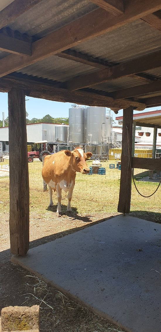 maleny dairies 2019 all you need to know before you go  tell_a_friend?products_id=392 #6
