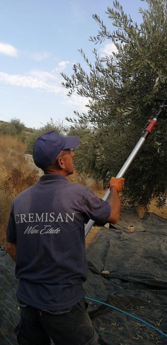 Olive Harvest 2019