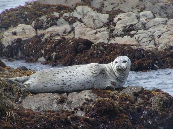 Cambria, Californië: Harbor seal seen from Moonstone Beach, July 2004