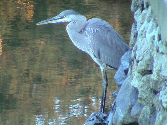 The Edgewater Inn: Blue Heron  by the Green Heron Inn