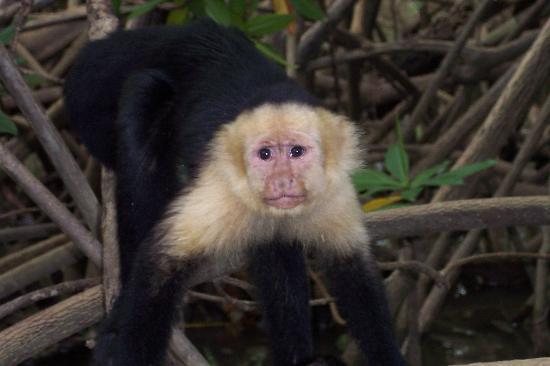 Hotel Costa Verde: Cappucchin in Mangroves