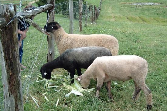 Peacock Hill Country Inn: Feeding the sheep