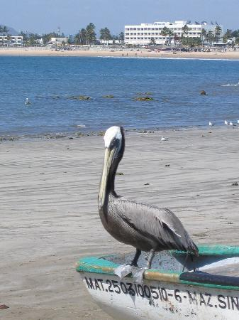 Hotel Playa Mazatlan : Pelicans everywhere on the Beach!
