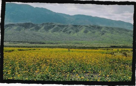 Death Valley National Park, Californien: flowers in 2005 at ashland mills