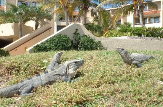 Solymar Cancun Beach Resort: the resident Iguanas