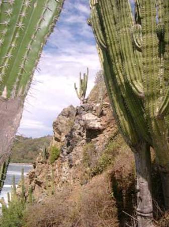 Ixtapa Island (Isla Ixtapa): giant cactus