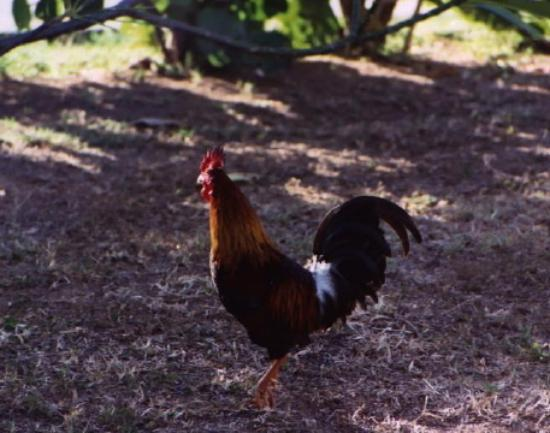 Guavaberry Spring Bay Vacation Homes: Roger the Rooster