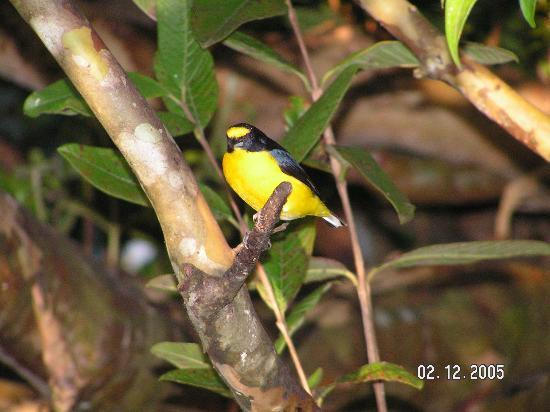 ‪هوتل لاس كابانيتاس: Yellow Crowned Euphonia (Las Cabanitas)‬