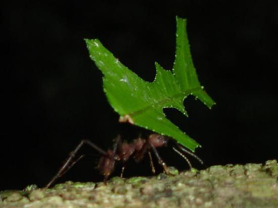 El Remanso Lodge: Leaf cutter ants along beach trail