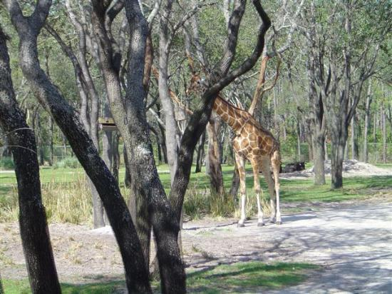Disney's Animal Kingdom Lodge: Giraffe from the center rock