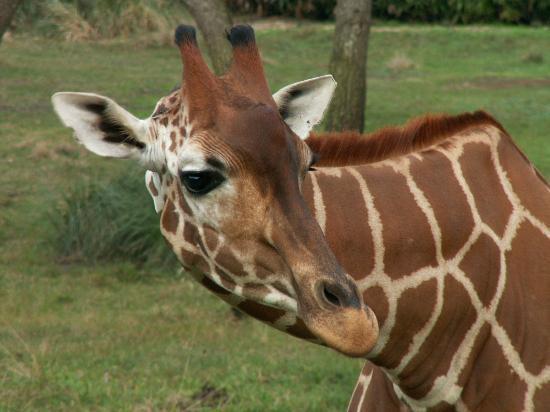 Disney's Animal Kingdom Lodge: Photogenic Giraffe