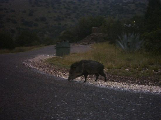 Indian Lodge: Javelina on park road going to lodge