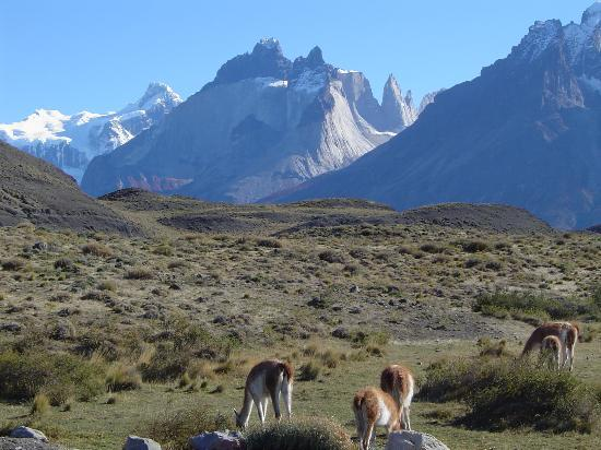 Puerto Natales, Chile: Guanacos and the view