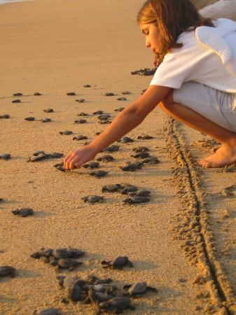 Hotelito Desconocido: At Sunset thousands of hatched baby turtles are released by the inhouse biologist with help...