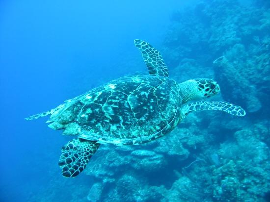 Glovers Reef Atoll, Belice: Sea turtle on Glover's Atoll