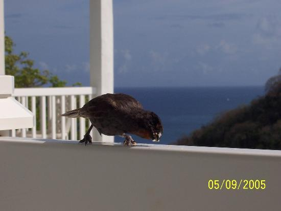 Marigot Bay, Saint Lucia: Our daily breakfast guest