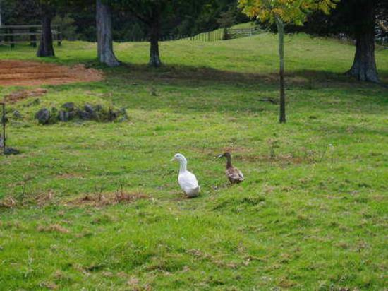 Parua House : Ducks on the property
