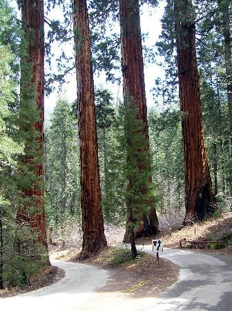 Exeter, Калифорния: Sequoya's giant redwoods