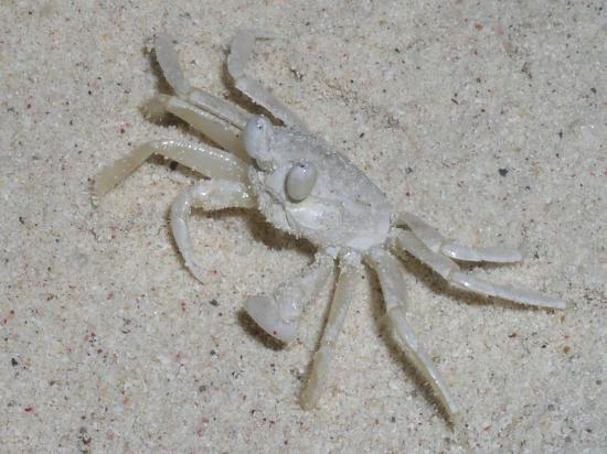 Small white crab - only saw crabs very early in the ...