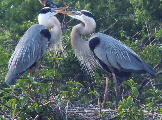 Wakodahatchee Wetlands : Great Blue Herons - mating behavior