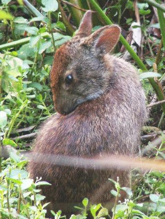 Wakodahatchee Wetlands: Marsh Rabbit