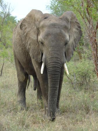 Zuma Zuma Safari Lodge & Spa: Grumpy elephant