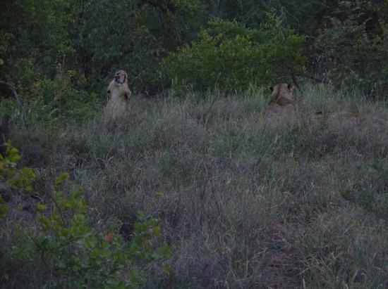 Zuma Zuma Safari Lodge & Spa : Elusive lionesses