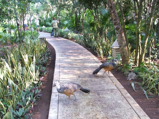 Iberostar Paraiso Del Mar: Birds on Walkway