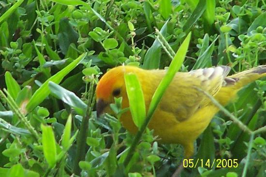 Kona Coast Resort: Cute birds visited throughout the day