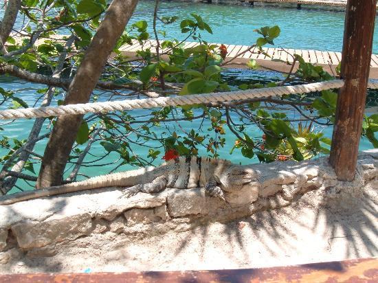 Riviera Maya, México: Hidden Iguana