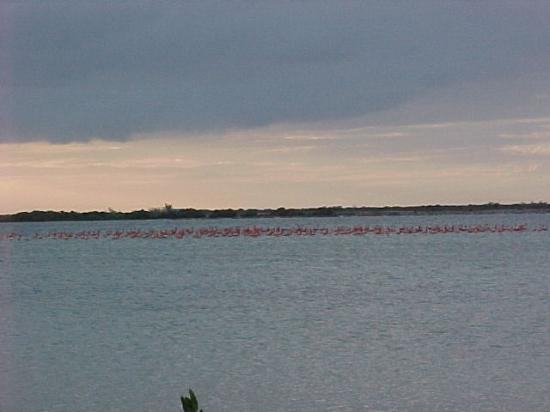 Great Inagua Island: Flamingos