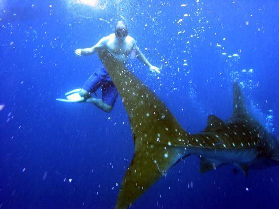 Deep Blue Resort Utila: Whale Shark