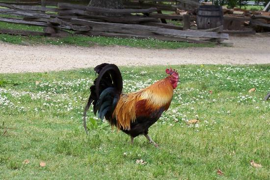 Yorktown, Virginie : Find out how important the chickens were...