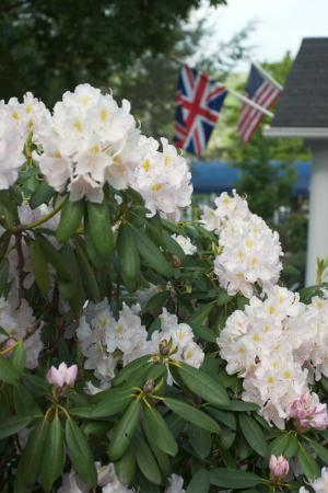 Blowing Rock Ale House and Inn : Rhododendron in the front yard