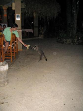 Hotel Capitan Suizo Beach Front Hotel Boutique : Feeding racoons