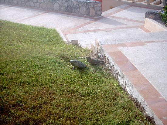 Solymar Cancun Beach Resort: Resident iguanas