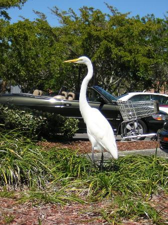 ‪‪Longboat Key‬, فلوريدا: Snowy white egret...in the Publix parking lot!‬