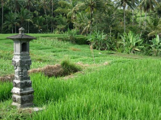 Four Seasons Resort Bali at Jimbaran Bay: Tanah Lot area - A local rice field