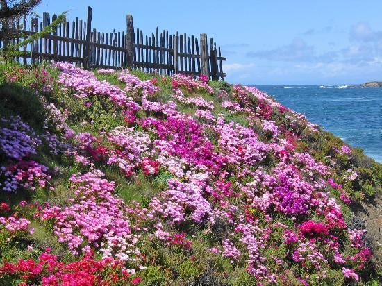 Mendocino Coast Botanical Gardens: View of Ice Plants from the Cliff House
