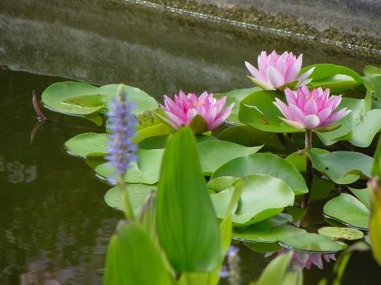 Wilmington, NC: Beautiful water lillies