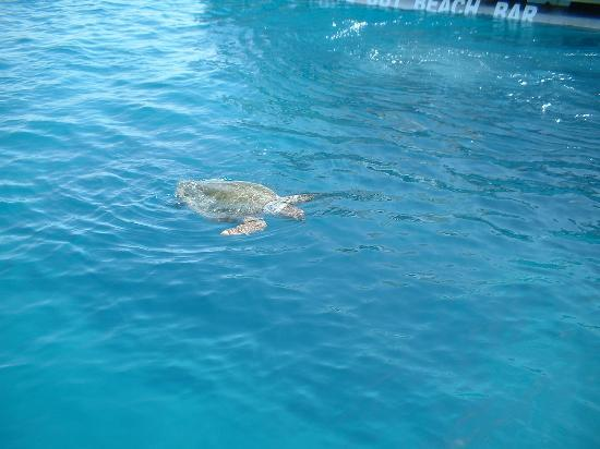 Denny's Inn Hotel: A Caretta Turtle viewed from a tour boat (Laganas)