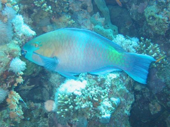 Hyatt Regency Sharm El Sheikh Resort: Parrot Fish