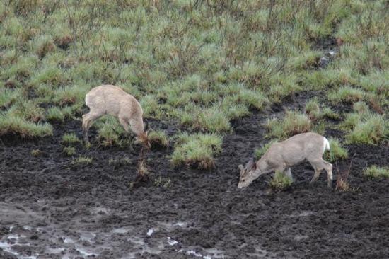 Mount Engadine Lodge: Deer feeding at the mud pool