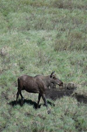 Mount Engadine Lodge: Moose feeding at the mud pool