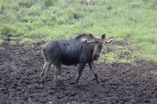Mount Engadine Lodge: Moose feeding at the mud pool 2