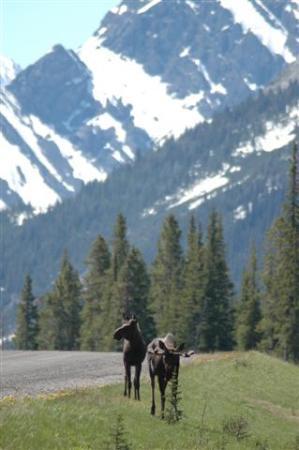 Mount Engadine Lodge: Moose saying goodbye as we left
