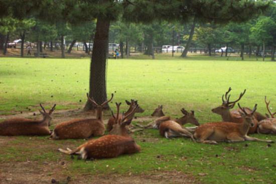 Nara, Japan: Fat deer lounging on the grass