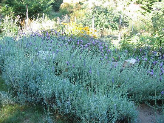 Sky Valley Inn Bed and Breakfast: Lavender garden at the inn
