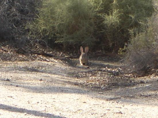 A Jack Rabbit at the twentynine palms inn