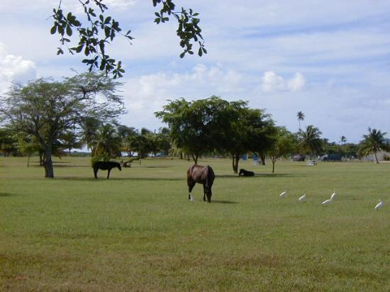 Isla de Vieques, Puerto Rico: Horses grazing in front of the beach